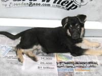 AKC German Shepherd puppies. We currently have 2