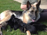 I have Full Blooded AKC German Shepherd Puppies for