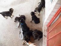 7 weeks old German Shepherd puppies for sale with akc
