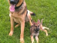 AKC GERMAN SHEPHERD PUPPIES FOR SALE. BEAUTIFUL SABLE