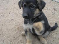 We have a litter of beautiful German Shepherd puppies