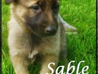 Males $650 Females $700 Beautiful German Shepherd