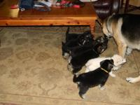 AKC German Shepherd puppies for sale. AKC registration