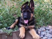 I have three gorgeous german shepherd puppies for sale