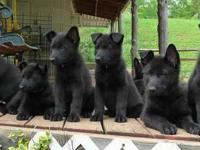Ready to go new home AKC Registered German Shepherd