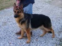 AKC GERMAN SHEPHERD PUPPIES FOR SALE We Raise