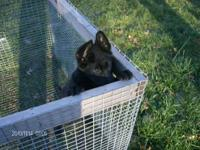 Beautiful German Shepherd puppies due the end of