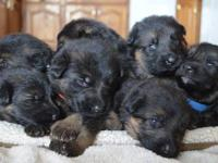 GORGEOUS AKC CHAMPION-LINE GERMAN SHEPHERD PUPPIES FROM