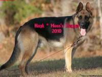 Akc German Shepherd Puppies...direct from Hank Vom Haus