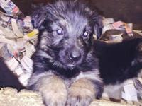 AKC German Shepherd puppies Beautiful black/red Will