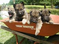 AKC puppies males and females. 4 male and 3 females