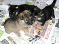 AKC German Shepherd puppies. M's & & F's. Born upon