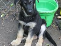 AKC German Shepherd pups. As of this post we have only