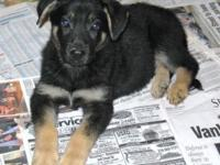 AKC German Shepherd pups. As of this post we have 3
