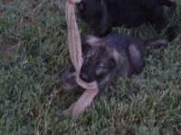 AKC German Shepherd Puppies, Only have 2 males left.