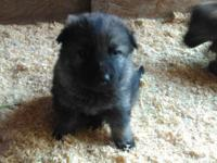 AKC German Shepherd puppies. From Quality WORKING