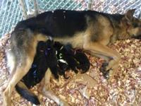 Taking deposits on our AKC German Shrpherd puppies.