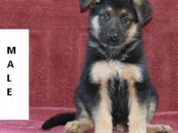 AKC German Shepherd Puppies. Ready to go. Have had