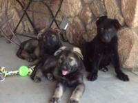 WE HAVE MALES AND FEMALES, GERMAN SHEPHERD PUPPIES