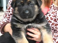 I have 5 beautiful purebred German Shepherd puppies for