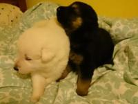 I have 6 puppies in the litter. Two snow white males,