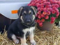 I have three gorgeous AKC REG, Male German Shepherd