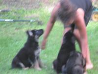 HERE I HAVE 5 HEAVY BONE AKC GERMAN SHEPHERD PUPPIES-2