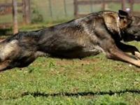 AKC Registered German Shepherd puppies..Strong working