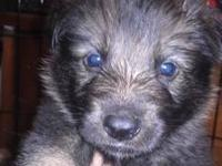 AKC German Shepherd puppies. $800. litter due May29th