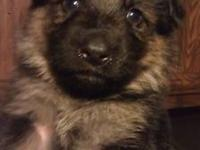 AKC German Shepherd puppies. $800. . Mother is full