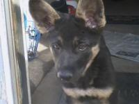 AKC German Shepherd puppy. We currently have 1 female