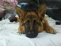 I have a Purebred AKC German Shepherd for sale from my