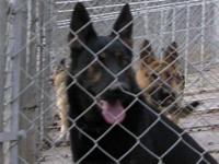 I have an AKC male German Shepherd up for sale he has a