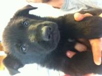 I have an all black AKC reg. male German shepherd puppy