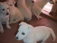 i have an Akc registered german shepherd puppy with an