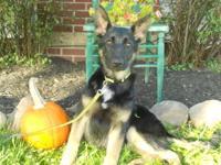 Gorgeous AKC German Shepherd Puppy!!Our pups are family