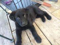 I have one male full German Shepherd all black ready to
