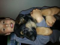 I have an AKC German Shepherd male for sale he is $700