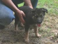 AKC German shepherd lady puppy 9 weeks old. Last one.