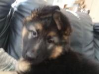 1 female currently available. She is AKC registered and