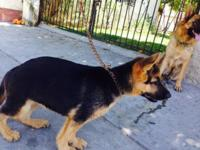 AKC registered. 1 male German Shepherd puppy available.
