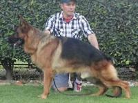 8 weeks old female, sire: VA 1 champion Degli Achei,