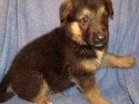 Beautiful AKC German shepherd puppy! Black & Tan Has