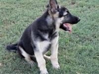 Red Rock K9 is one of the most powerful and trustworthy among Oklahoma  German Shepherd Breeders. We invite you to come experience the