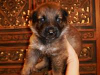 AKC German Shepherd Dog puppy born July 9. Our canines