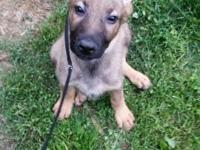 Female German Shepherd ... She was pick of litter ...