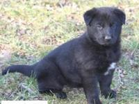 AKC Black German Shepherd Female puppy. She is outbound