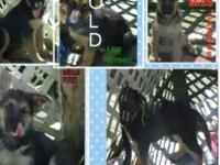 AKC German Shepherd Pups 1 Male,,,, 3 Females Pet to be
