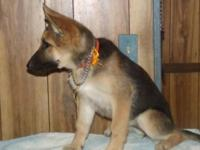 AKC German Shepherd Pups 1 Male,,,, 2 Females Pet to be