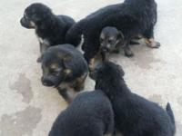 Hello, I have 8 pups left in my litter, both my adults
